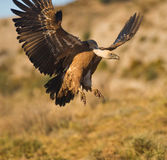 A Griffon Vulture showing his power Royalty Free Stock Image