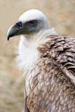 Griffon vulture in side angle view Royalty Free Stock Photography