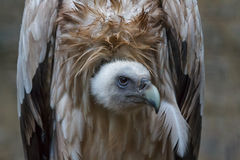 Griffon vulture Stock Images