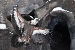 The Griffon Vulture sits beautifully, spreading its huge wings with long feathers — a mountain scavenger bird against the. The Griffon Vulture sits stock photo