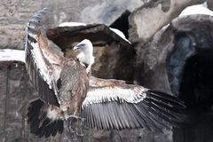 Griffon Vulture sits beautifully, spreading its huge wings with long feathers — a mountain scavenger bird against the. The Griffon Vulture sits royalty free stock photos