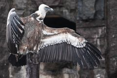 Griffon Vulture sits beautifully, spreading its huge wings with long feathers, scavenger bird, the wings look like a gesture by a. The Griffon Vulture sits stock image