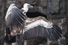 Griffon Vulture sits beautifully, spreading its huge wings with long feathers, scavenger bird, the wings look like a gesture by a. The Griffon Vulture sits stock photos