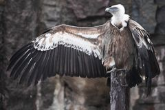 Griffon Vulture sits beautifully, spreading its huge wings with long feathers, scavenger bird, the wings look like a gesture by a. The Griffon Vulture sits stock photography
