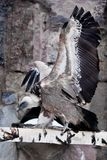 The Griffon Vulture sits on a log flapping its huge wings, a Asian bird scavenger. The Griffon Vulture sits on a log flapping its huge wings, a large Asian bird royalty free stock images