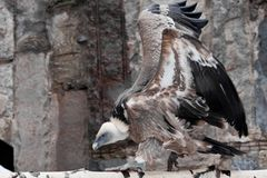 The Griffon Vulture sits on a log flapping its huge wings, a Asian bird scavenger. The Griffon Vulture sits on a log flapping its huge wings, a large Asian bird stock photography