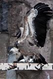 The Griffon Vulture sits on a log flapping its huge wings, a Asian bird scavenger. The Griffon Vulture sits on a log flapping its huge wings, a large Asian bird stock images