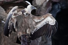 Griffon Vulture sits on a log spreading its huge wings, the Asian eagle is a scavenger. The Griffon Vulture sits on a log spreading its huge wings, the Asian stock photography