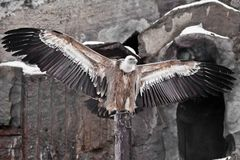 Griffon Vulture sits on a log spreading its huge wings, the Asian eagle is a scavenger. The Griffon Vulture sits on a log spreading its huge wings, the Asian stock photo