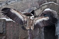 Griffon Vulture sits on a log spreading its huge wings, the Asian eagle is a scavenger. The Griffon Vulture sits on a log spreading its huge wings, the Asian stock images