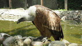 Griffon vulture. The griffon vulture sits on the stones in anticipation of the victim Royalty Free Stock Images
