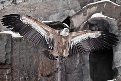 Griffon Vulture sitzt auf einem Klotz, der seine enormen Flügel, der asiatische Adler verbreitet, ist ein Reiniger stockfoto