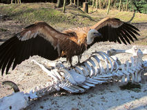 Griffon vulture on the skeleton Stock Images