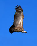 Griffon vulture in the sky Royalty Free Stock Photo