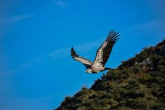 Griffon vulture on the sky royalty free stock photos