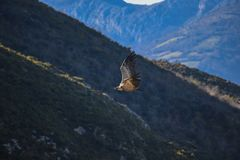 Griffon vulture on the sky stock image