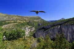 Griffon Vulture soaring above Gorges du Verdon Stock Photo