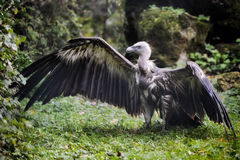 Griffon vulture spreading wings. On the ground covered with leaves Royalty Free Stock Photo