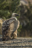 Griffon Vulture standing in the ground Stock Photography