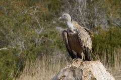 Griffon vulture standing on a rock. Royalty Free Stock Image