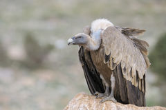 Griffon vulture standing on a rock. Stock Image