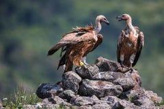 Griffon Vulture in un ritratto dettagliato, stante sulle eccedenze di una roccia Immagine Stock
