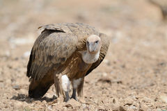 Griffon vulture walking Royalty Free Stock Image