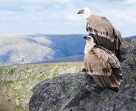 Griffon vulture in wildness Stock Photos