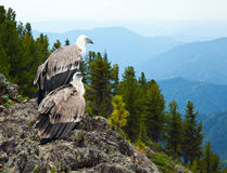 Griffon vulture  in wildness. Griffon vulture (Gyps fulvus)  in wildness area Stock Images