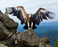Griffon vulture   in wildness area. Griffon vulture (Gyps fulvus)  in wildness area Royalty Free Stock Photography