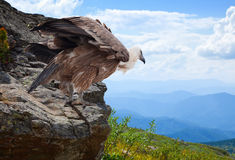 Griffon vulture in wildness area. Griffon vulture Gyps fulvus  in wildness area Royalty Free Stock Photography