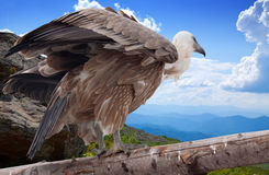 Griffon vulture   in wildness. Griffon vulture (Gyps fulvus)  in wildness area Stock Photography