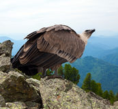Griffon vulture  in wildness. Griffon vulture (Gyps fulvus)  in wildness area Royalty Free Stock Photo