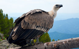 Griffon vulture in wildness. Griffon vulture (Gyps fulvus)  in wildness area Stock Photos