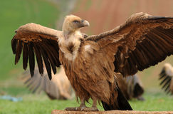 Griffon vulture wings Stock Photography