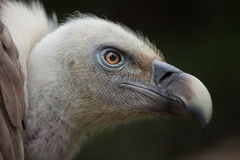 Griffon vulture (Gyps fulvus). Royalty Free Stock Photography