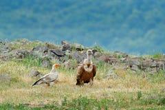 Griffon Vulture y buitre egipcio, aves rapaces grandes que se sientan en la piedra en la montaña rocosa, hábitat de la naturaleza fotografía de archivo libre de regalías