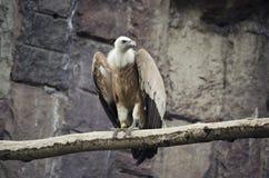 Griffon Vulture-zitting op een tak, wilde vogels in gevangenschap stock fotografie