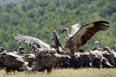 Griffon vultures Royalty Free Stock Photos