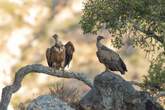 Griffon Vultures. 2 Griffon Vulture close-up extremadura spain Royalty Free Stock Photo