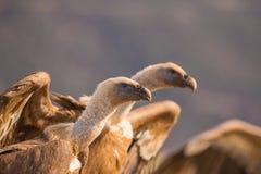 Griffon Vultures lizenzfreie stockfotos