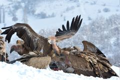 Griffon Vultures Eating in de Winter royalty-vrije stock foto's