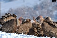 Griffon Vultures Eating in de Winter royalty-vrije stock afbeeldingen
