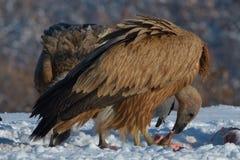 Griffon Vultures Eating in de Winter stock afbeeldingen