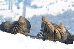 Griffon Vultures Eating in de Winter stock foto's