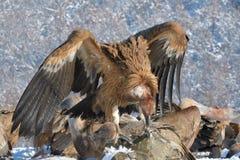 Griffon Vultures Eating in de Winter stock afbeelding