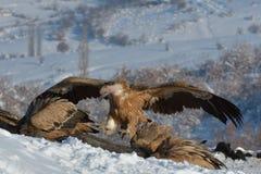 Griffon Vultures Eating in de Winter royalty-vrije stock afbeelding