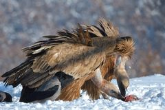 Griffon Vultures Eating in de Winter stock fotografie