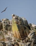 Griffon vultures Gyps fulvus on a cliff. stock photos