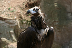 Griffon. Vultures of the Old world . Royalty Free Stock Photography